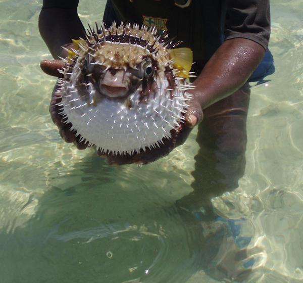Animali pescato un pesce palla nel mar ligure meteo web for Pesce palla immagini
