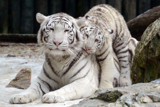 Austria allo zoo nasce obama un cucciolo di tigre bianca for Disegni delle tigri