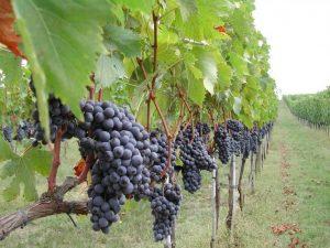 Scoperto in Sardegna il più antico vitigno del Mediterraneo occidentale