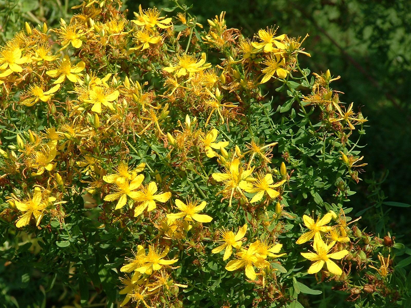 Hypericum perforatum la celebre erba di san giovanni o - Geranio giallo ...