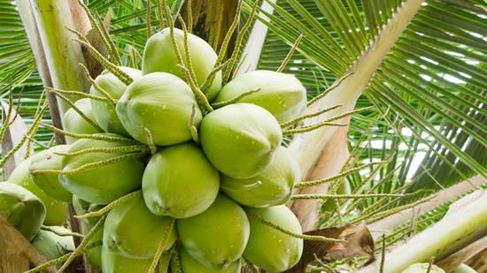 Noce di cocco il muso di scimmia ricco di significati for Pianta di cocco