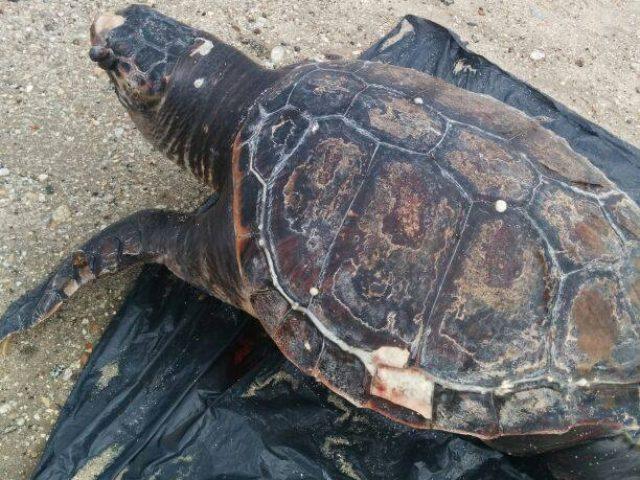 gamma molto ambita di prezzo basso colore attraente Ambiente, WWF: ogni anno in Italia muoiono 20mila tartarughe ...