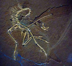 Il fossile di Archaeopteryx analizzato ai raggi ultravioletti