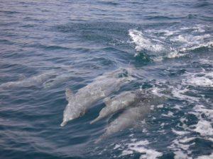Delfini nel fiordo di Khasab