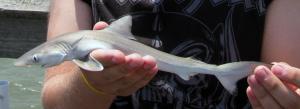 Juvenille-dusky-shark-ocean-isle-beach-pier