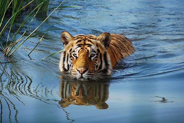 Tigri selvatiche sempre pi a rischio ecco la storia del - Colorazione pagina di tigre ...