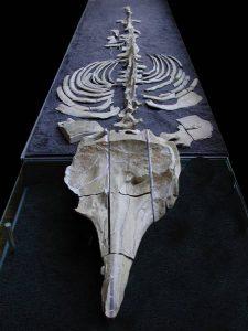 zygophyseter varolai - museo di Lecce