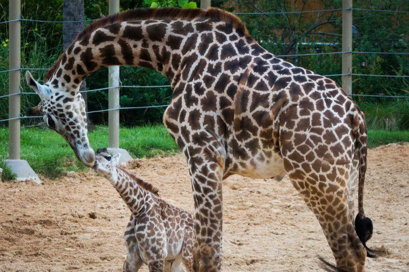 Animali nata una nuova giraffina allo zoo di houston