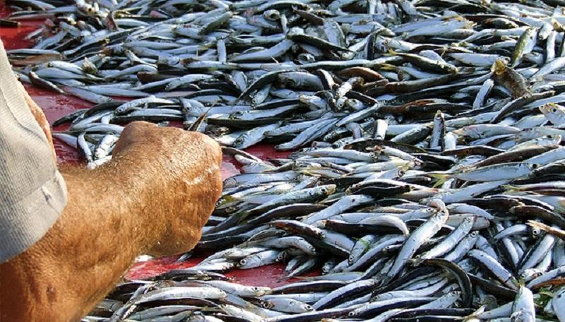 Fermo pesca nelle acque del sud da domani per un mese for Un pesce allevato in acque stagnanti