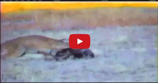 Animali  rarissimo VIDEO mostra la strategia di caccia dei puma ... 34fd9a4e9b05