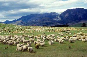 pecore nuova zelanda