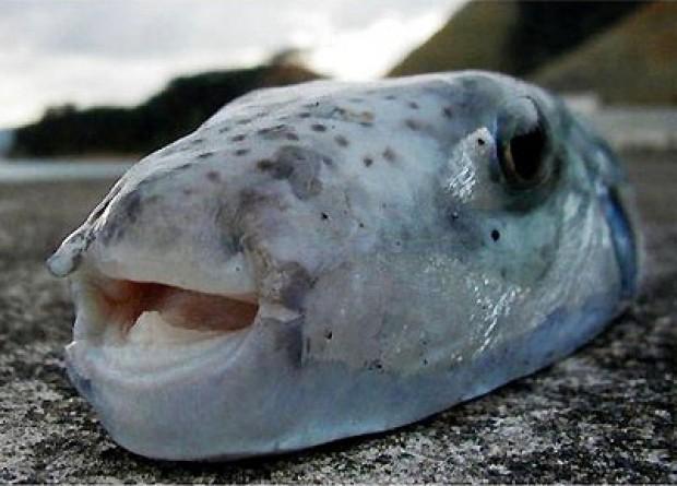 Clima l 39 atlantico sempre pi caldo boom di specie tropicali e pesci velenosi - Pesci piu comuni in tavola ...