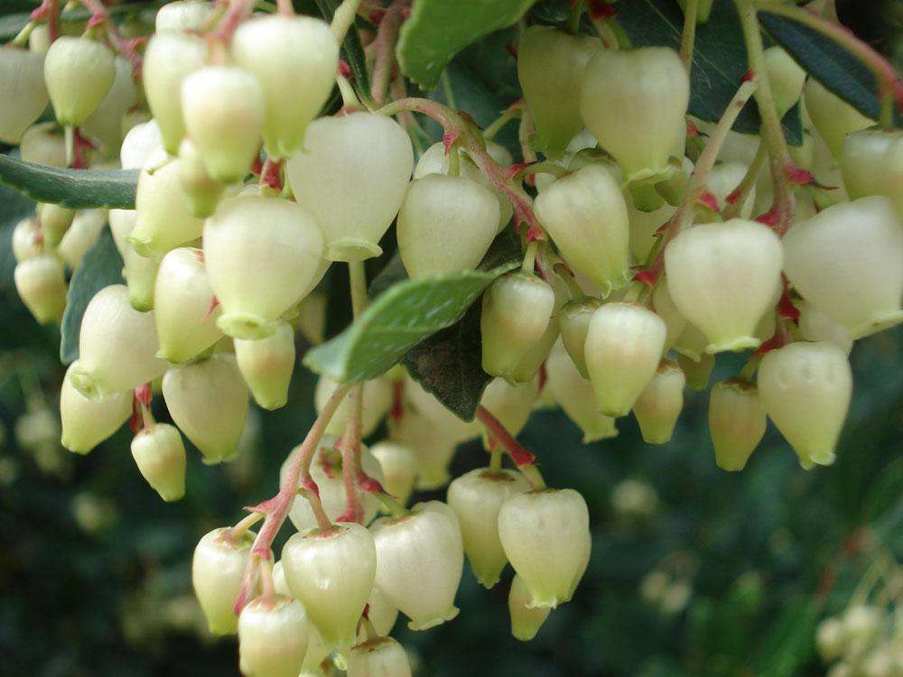 Le numerose virt benefiche del corbezzolo arbusto for Pianta mediterranea con fiori rossi bianchi e gialli