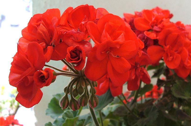 I gerani piante ornamentali dalle sorprendenti propriet for Fiori gerani