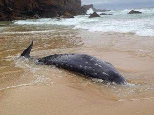 balena dal becco2