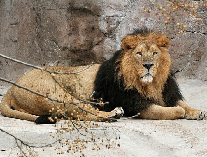 Animali acqua inquinata i rarissimi leoni asiatici for Immagini leone hd