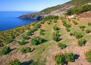 Alberello Pantelleria verso iscrizione Patrimonio umanità