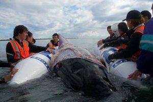 balene nuova zelanda