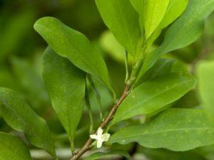 pianta coca