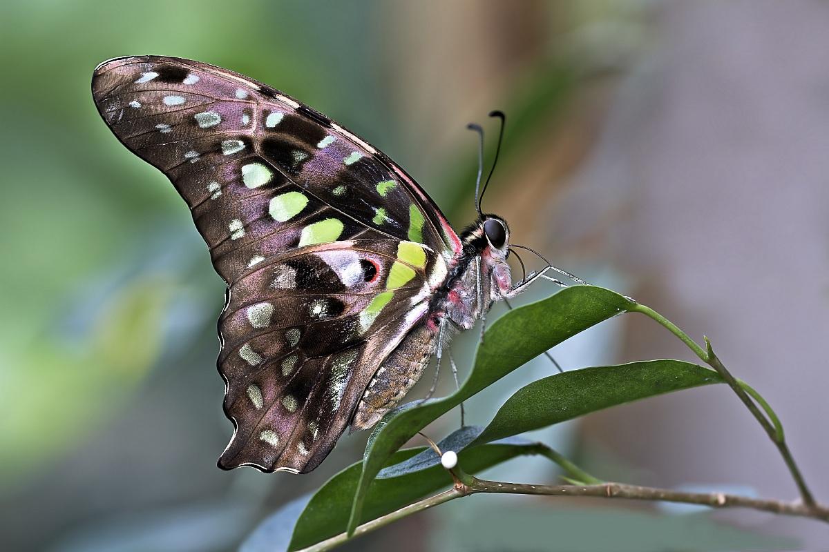 farfalle esotiche in gran bretagna nel 2015 sar record
