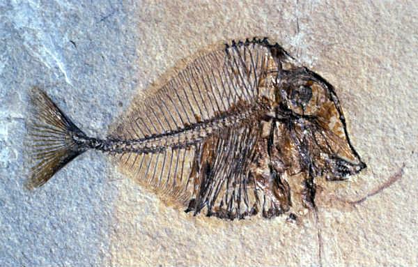 Scoperto un fossile del pesce palla fa luce sugli oceani for Pesce palla immagini