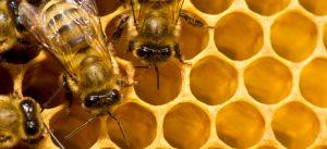 apicoltura api miele