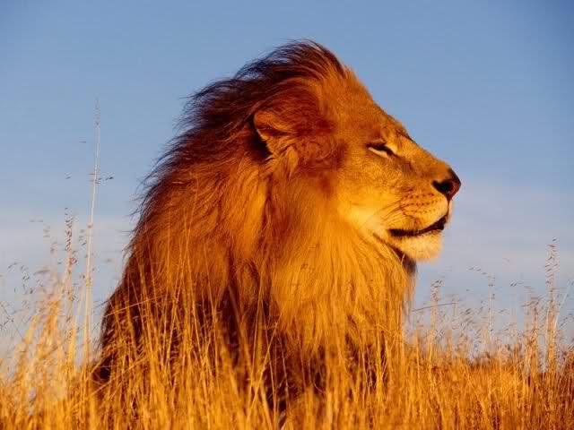 Etiopia i leoni dalla criniera nera a rischio estinzione for Immagini leone hd