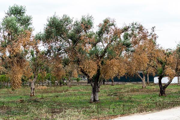 Xylella: ricominciate le eradicazioni in provincia di Brindisi