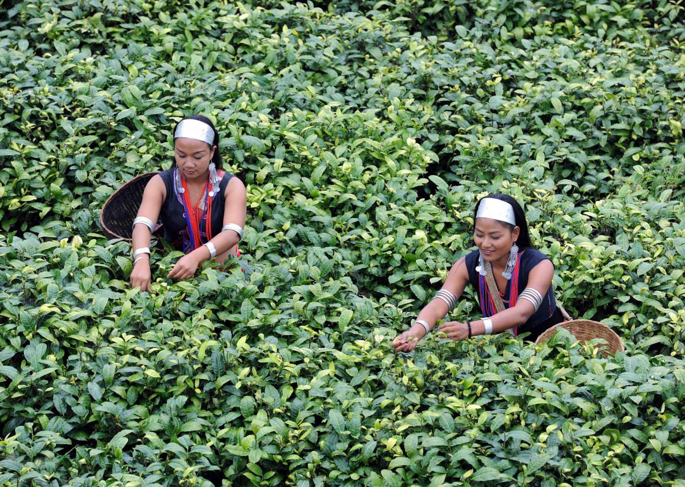 Cina le raccoglitrici nel giardino del t a ximeng foto - Giardino del te ...