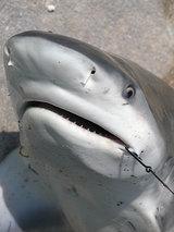 captured-shark