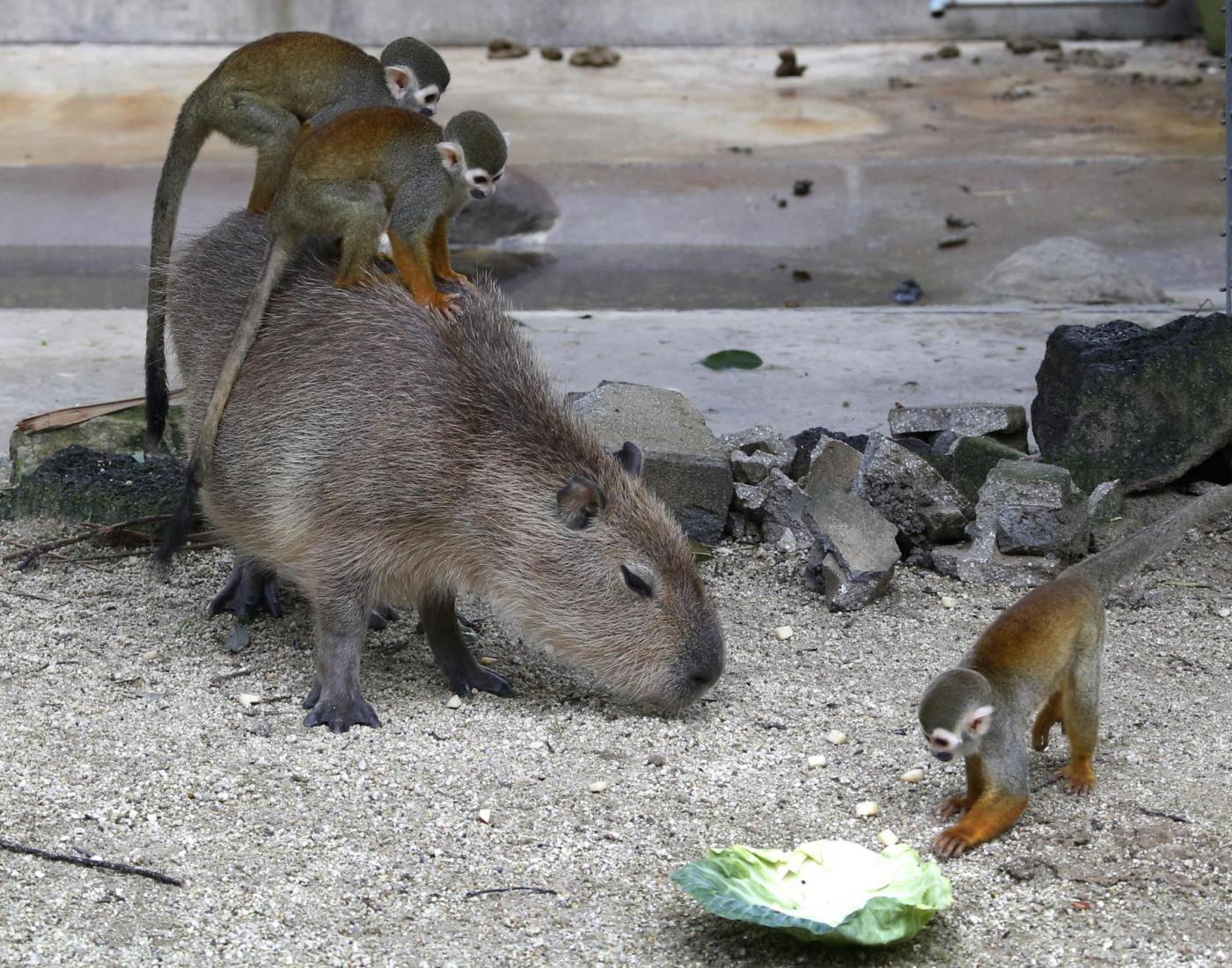 Scimmie scoiattoli e capibara insieme nella gabbia dello