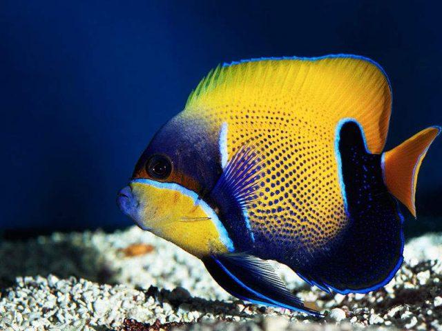 Animali alcune specie di pesci tropicali si adattano ai for Immagini di pesci disegnati