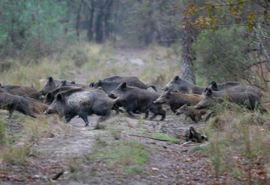 Rossiglione, cacciatore ferito da un cinghiale: è grave