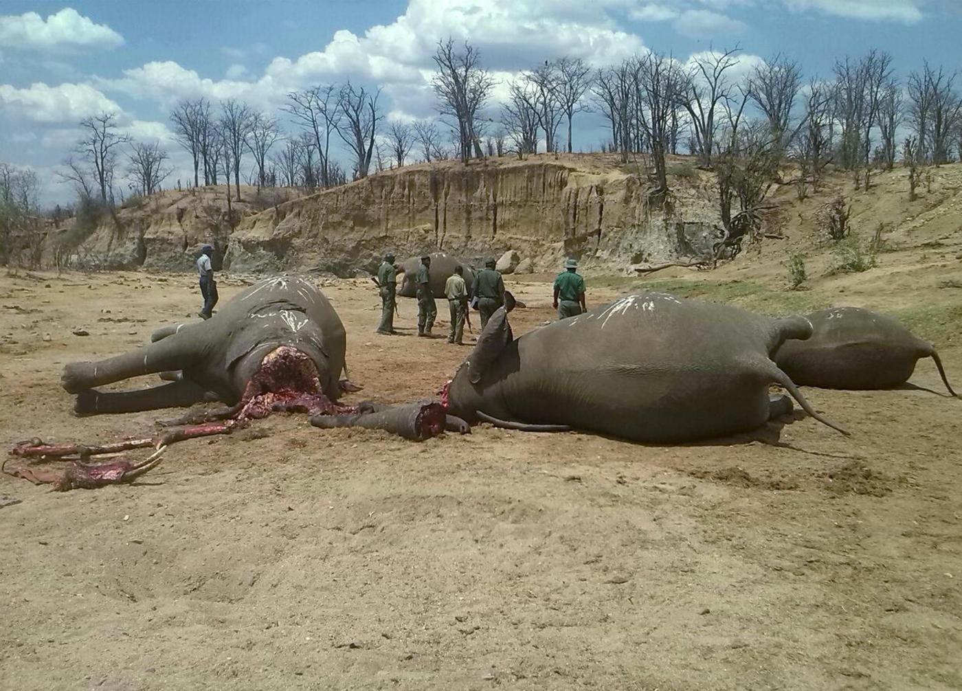 Elefanti africani a rischio, -30% in 7 anni