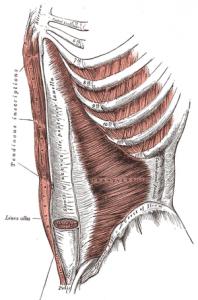 muscolo piramidale