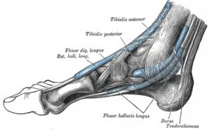 muscolo plantare