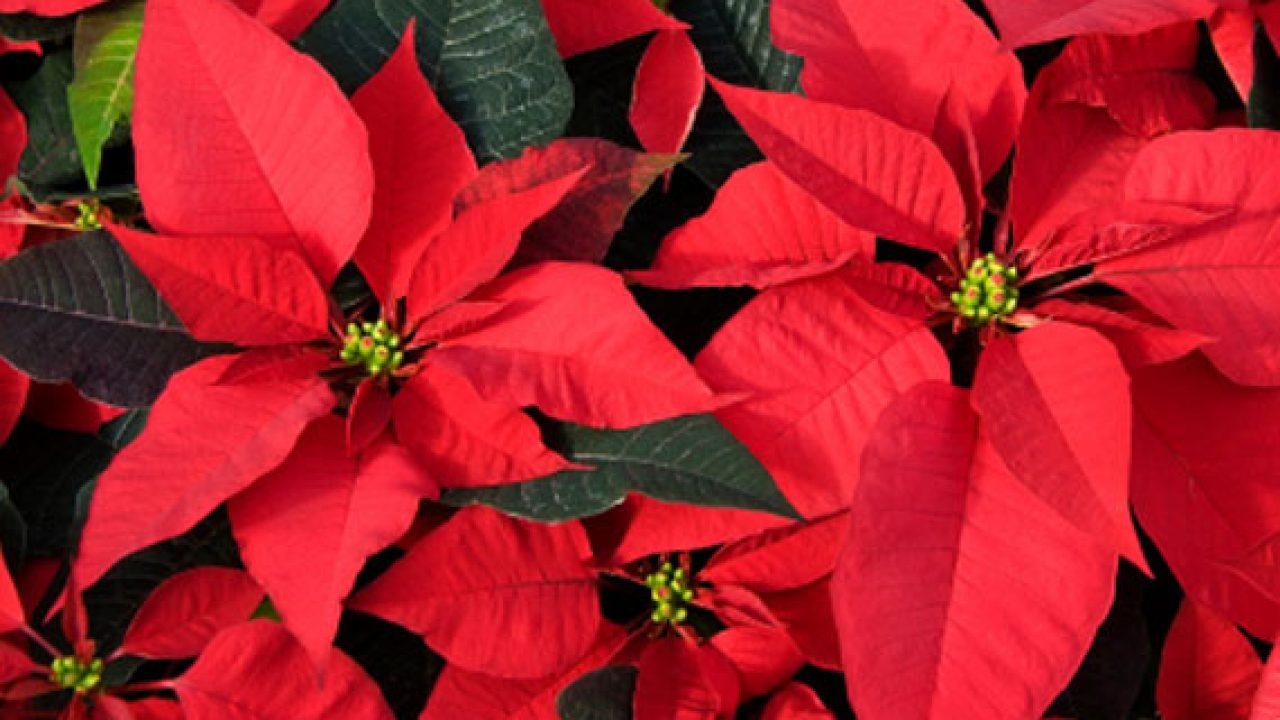 Prezzo Stella Di Natale Ail.Tumori Stelle Di Natale Ail In 4 800 Piazze Dall 8 Al 10 Dicembre