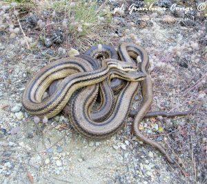 """Il Cervone o """"pasturavacche"""". Leggende e realtà su uno dei serpenti … – Meteo Web"""