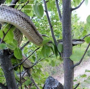 ph Gianluca Congi - Un grosso Cervone adulto su un albero di Pero - Sila Grande (CS)