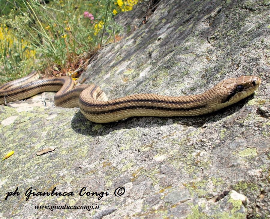 Il cervone o pasturavacche leggende e realt su uno dei for Cervone serpente