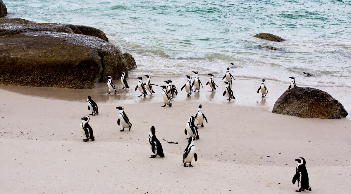 Risultati immagini per pinguini africani