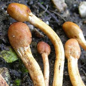 fungo-cordiceps