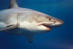 grande-squalo-bianco-stretto messina
