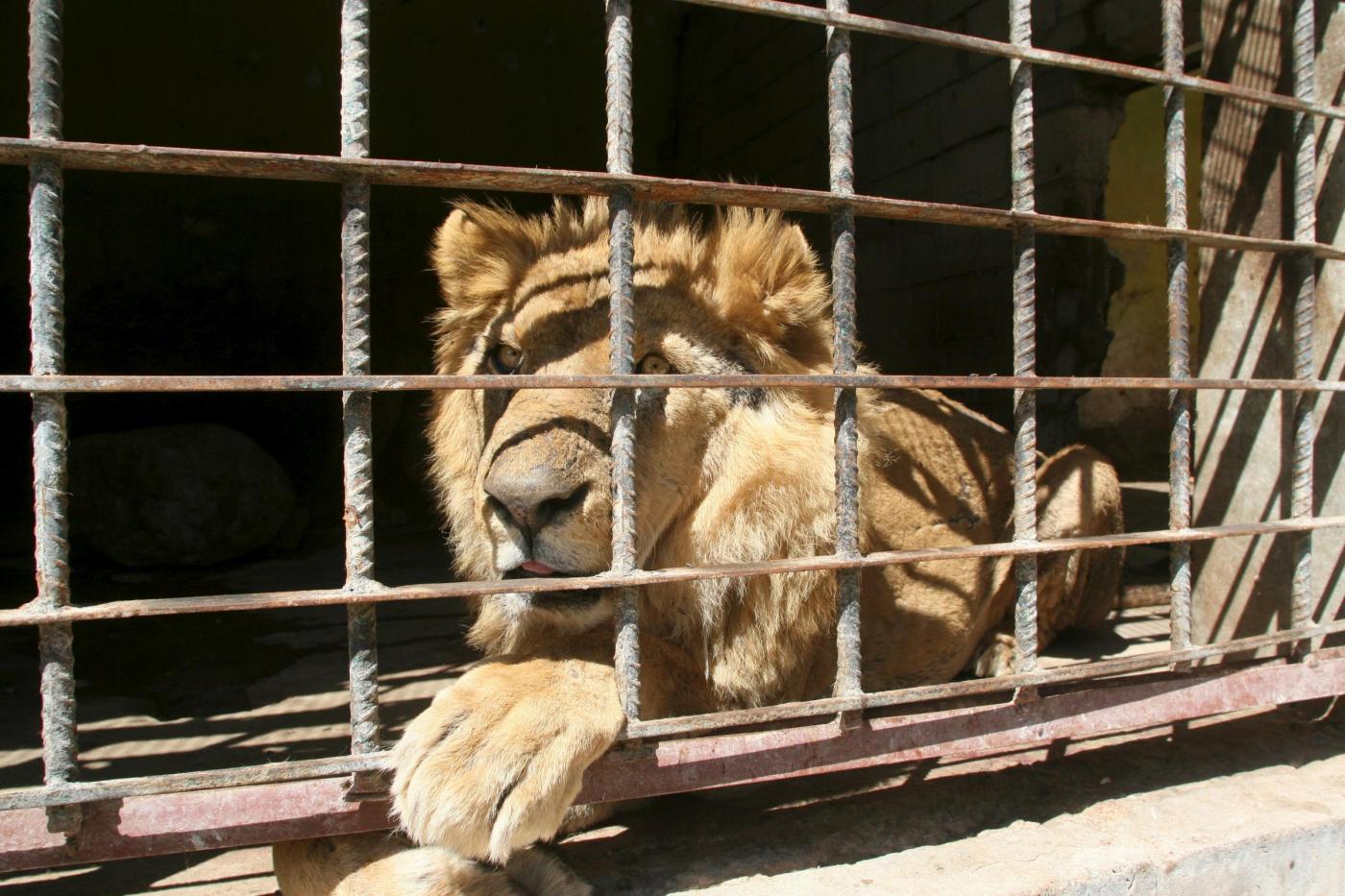Yemen gli animali dello zoo soffrono la fame nella città
