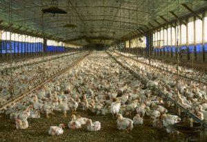 allevamento-galline