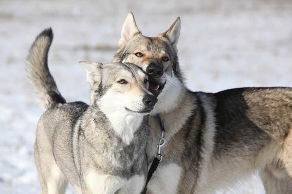 Wwf abbattere i lupi aumenta i danni alle greggi meteo web for Cerco dog sitter