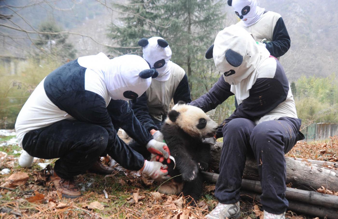 Cina: cuccioli di panda gigante nell'habitat del Sichuan ...