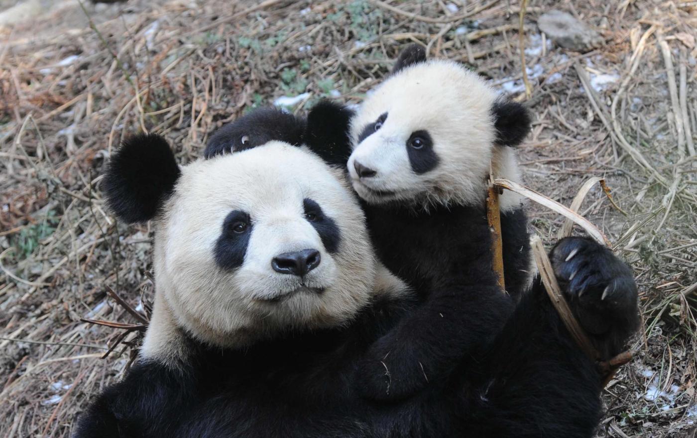 Le foto dei cuccioli di uno degli animali rari pi dolce: il panda - Ecoo 45