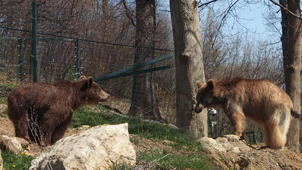 Armenia salvati gli orsi dello zoo più triste del mondo
