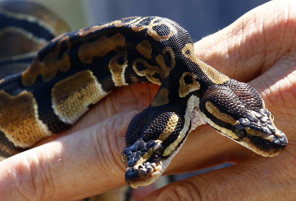 Le incredibili immagini del serpente a due teste nato in Germania